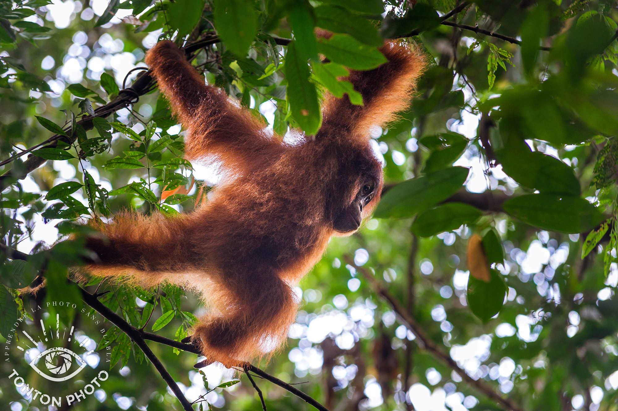 Photo animalière : Jeune orang-outan dans le Parc National de Gunung Leuser, Sumatra, Indonésie © Clément Racineux / Tonton Photo